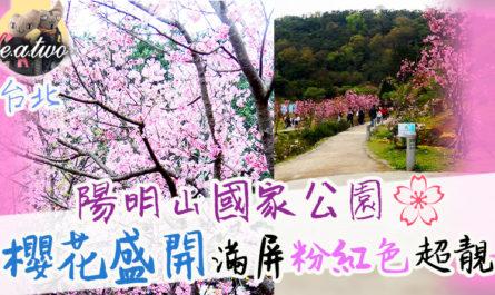 台北陽明山國家公園櫻花盛開