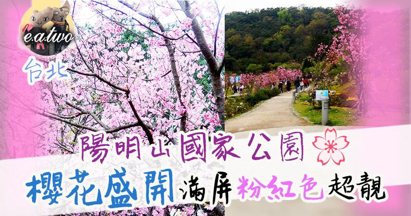 台北陽明山國家公園櫻花盛開 滿屏粉紅色超靚