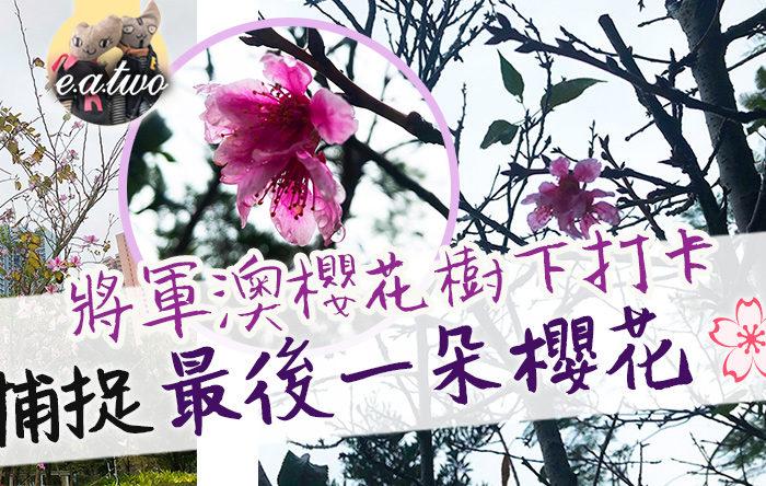 將軍澳櫻花樹下打卡 捕捉最後一朵櫻花