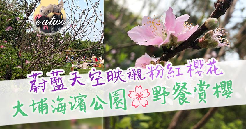 蔚藍天空映襯粉紅櫻花 大埔海濱公園野餐賞櫻