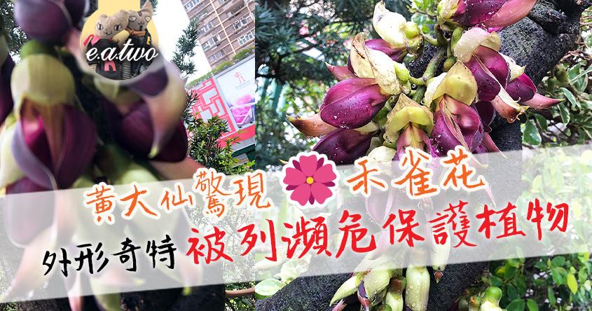 黃大仙驚現禾雀花 外形奇特被列瀕危保護植物