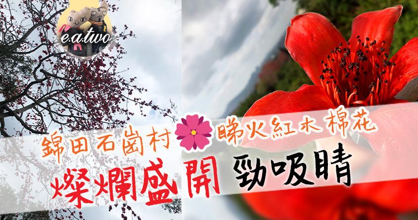 錦田石崗村睇火紅木棉花 燦爛盛開勁吸睛