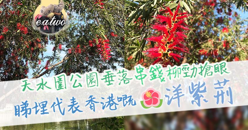 天水圍公園垂落串錢柳勁搶眼 睇埋代表香港嘅洋紫荊