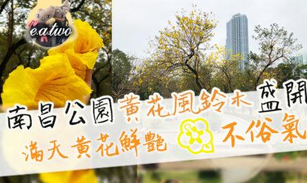 南昌公園黃花風鈴木盛開 滿天黃花鮮艷不俗氣