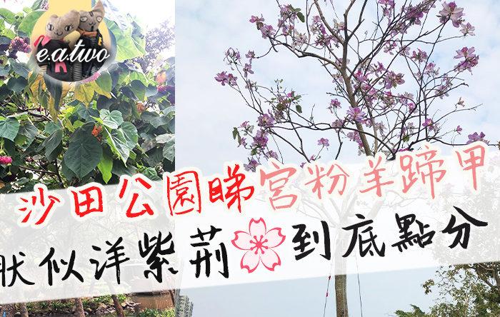 沙田公園睇宮粉羊蹄甲 狀似洋紫荊到底點分?
