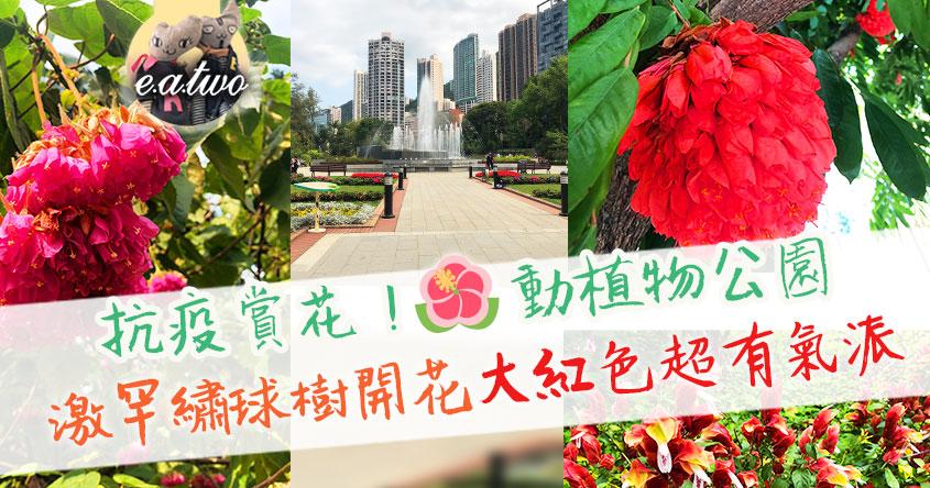 抗疫賞花!動植物公園激罕繡球樹開花 大紅色超有氣派