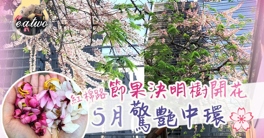 紅棉路節果決明樹開花 5月驚艷中環
