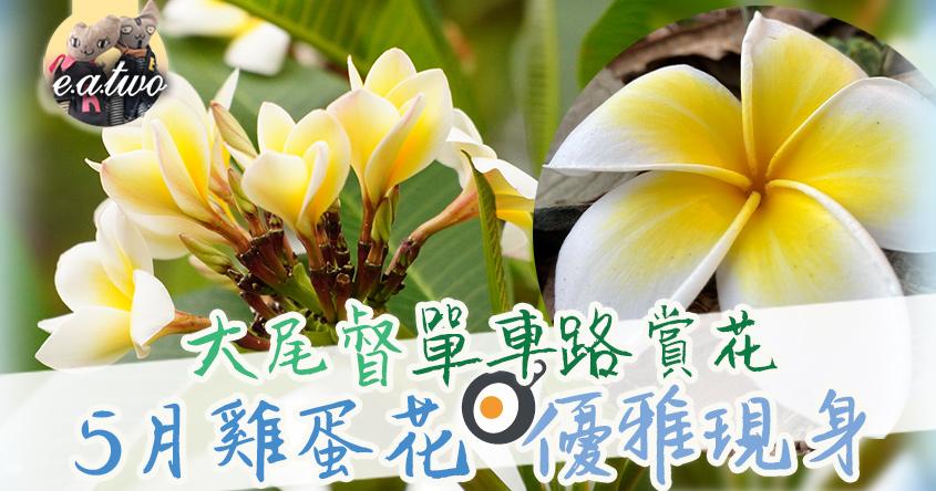 大尾督單車路賞花 5月雞蛋花優雅現身