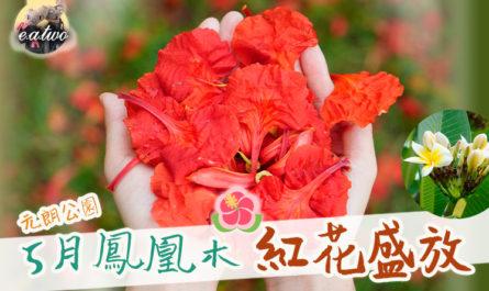 元朗公園5月鳳凰木紅花盛放