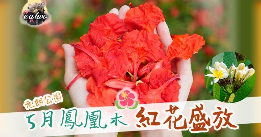 先睹為快! 元朗公園5月鳳凰木紅花盛放