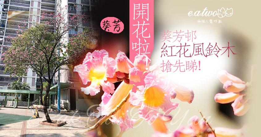 【2021賞花地圖】2月開花啦!葵芳邨紫紅色紅花風鈴木搶先睇