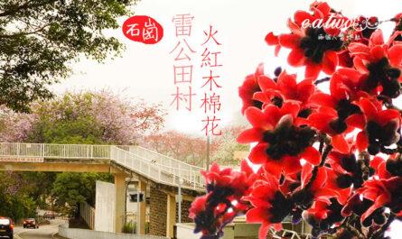 石崗 雷公田村 火紅木棉花