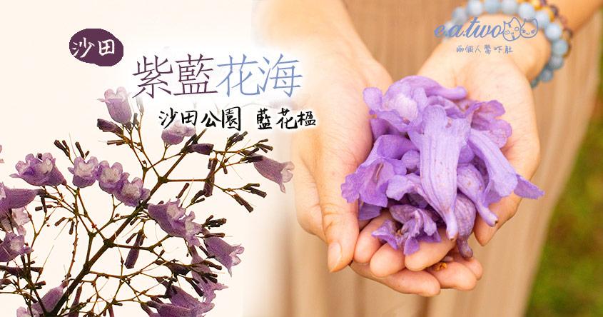 市區驚艷海量紫藍花海 沙田公園近20棵藍花楹含苞待放 勢成全港數量之冠!